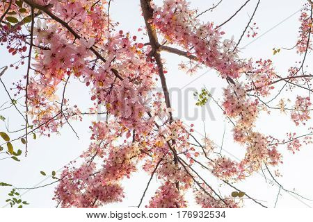 Pink shower, Wishing tree, horse Cassia Thailand beautiful
