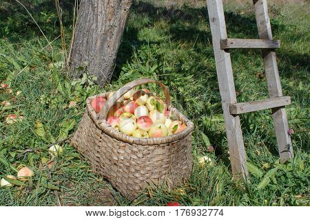Organic apples in basket in summer grass. Apple orchard. Fresh apples in nature