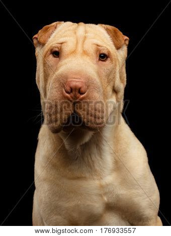 Portrait of Sharpei Dog Looking in camera on Isolated Black Background, Front view