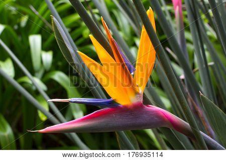 Blooming flower of tropical Strelitzia reginae. Long orange. Strelizia. Bird of paradise
