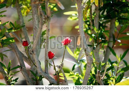 photo of cute red blooming roses on the trees branches nature background