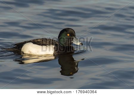 Tufted Duck (Aythya fuligula) drake swimming in water of a Lake