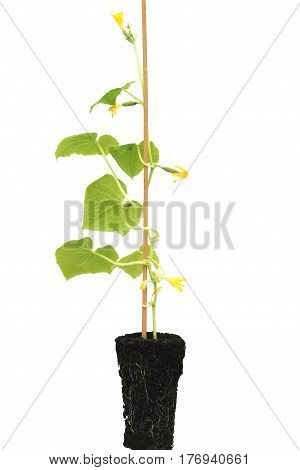 Seedlings of cucumbers with earth on a white background