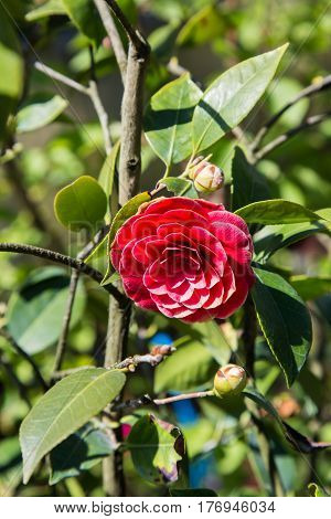 Red Camelia Flower seen in the foreground