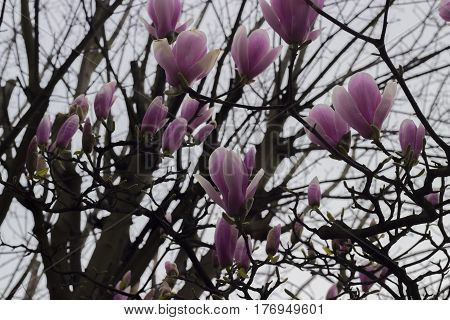 Pink flowers blooming in springtime in the branches of trees.