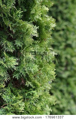 Green Branches Of A Coniferous Tree Close-up