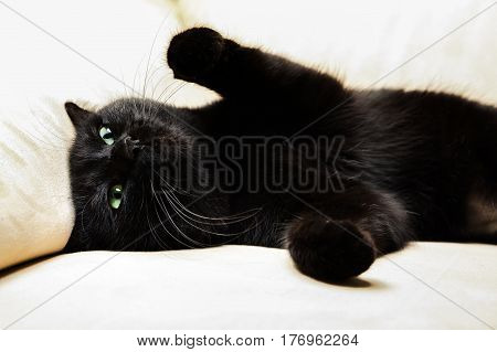 Portrait of a common, european black cat with green eyes and open pawy on sofa background. Horror atmospheres and halloween concept. Look panther and witch eyes. Bad luck and superstition.