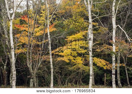 Autumn color maple leaves and white birch tree trunk in Yamanashi