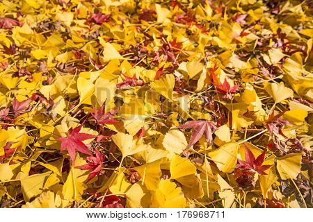 Bright yellow ginko and red maple fallen leaves in late autumn