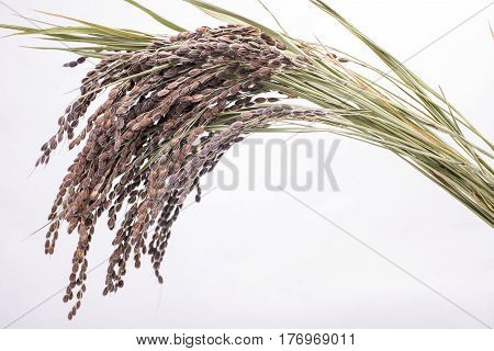 Dried ancient rice ears on white background