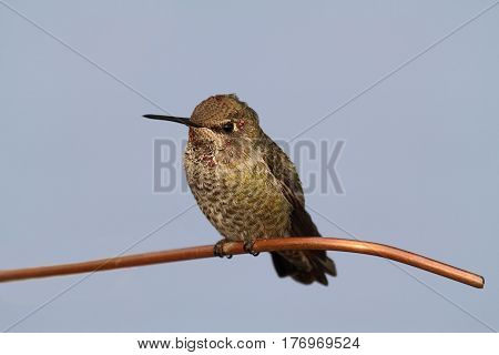 Annas Hummingbird (Calypte anna) on a perch