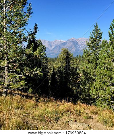 The Grand Teton Mountains glimpsed through the pine trees on a sunny summer day.