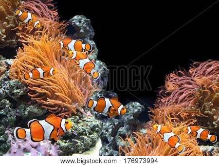 Sea anemone and clown fish in marine aquarium. On black background witn copy space