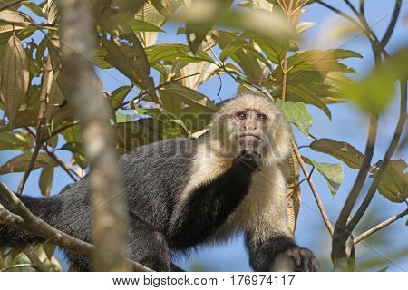 White face monkey in a Tree in Tortuguero National Park in Costa Rica