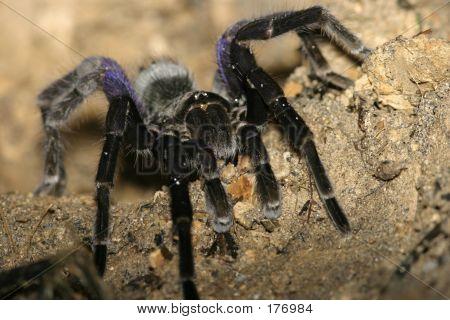 Black And Violet Tarantula -ecuador