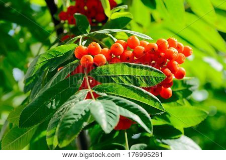 Close up of the rowan berries cluster