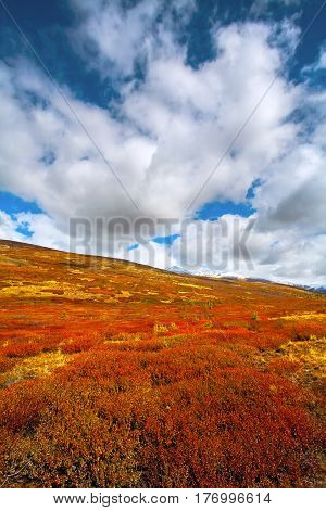 Autumn in the mountains with the red bushes of dwarf Birch . Cumulus clouds on a blue sky. Altai Russia.