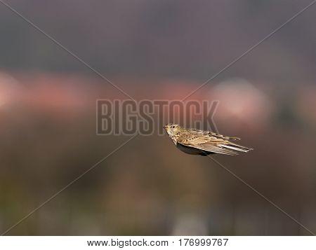 Skylark caught in flight - blurred background