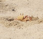 Red Sea ghost crab at entrance to its burrow on beach poster
