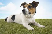 Jack Russell terrier lying in grass, head up poster