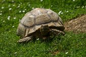 photo of a Spur-thighed Tortoise walking on grass while looking up poster