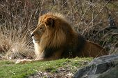 lion on hill profile shot.  male lion with full mane. poster