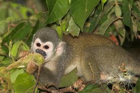 Squirrel_monkey