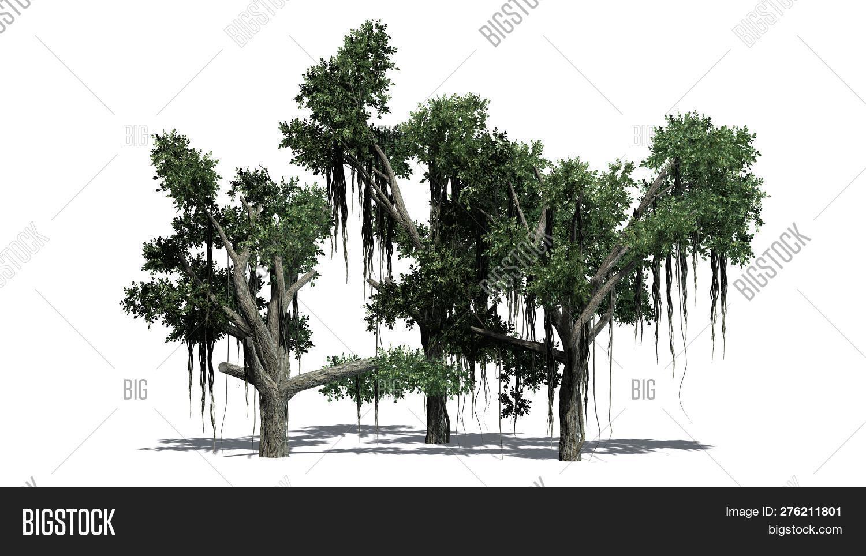 Chinese Banyan Tree Image & Photo (Free Trial) | Bigstock