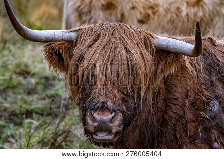 Highland Cattle - Bo Ghaidhealach -heilan Coo - A Scottish Cattle Breed With Characteristic Long Hor
