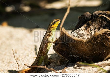 Close Up Of A Tropical Lizard In Nature. Amazing Nature. Close Up Of Tropical Lizard In Nature. Liza