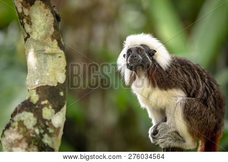 Cotton Top Tamarin Monkey, Saguinus Oedipus, Sitting In Natural Environment