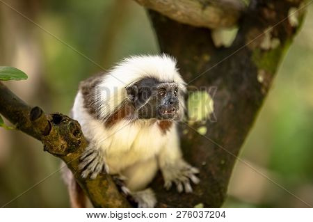 Cotton Top Tamarin Monkey, Saguinus Oedipus, Sitting On A Tree Branch
