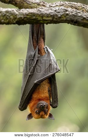 Large Malayan Flying Fox, Pteropus Vampyrus, Bat Hanging From A Branch.