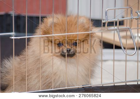cute pomeranian puppy is sitting in a aviary and looking poster