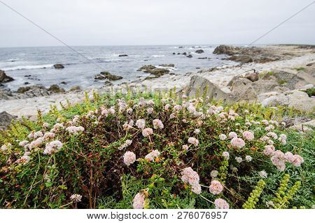 Pink Wildflowers Grow Near The Coastline Of The Pacific Ocean In California Along The Pacific Coast