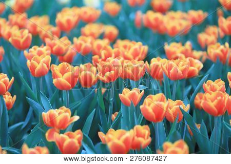 The Different Flowers And Blooming Tulips At Hk