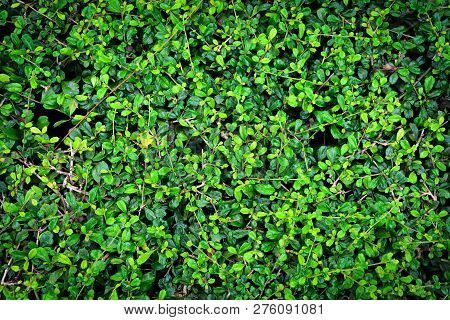 Carmona Retusa Trees (vahl) Masam Or Fukien Tea Trees For Background
