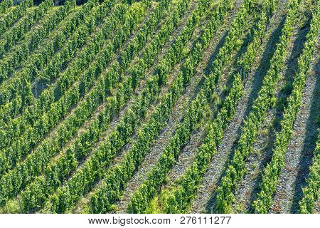 Growing Vine In The Vineyard In The Moselle Valley