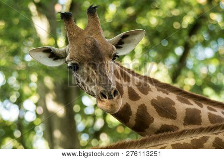 The Giraffe (giraffa Camelopardalis), African Even-toed Ungulate Mammal, The Tallest Of All Extant L