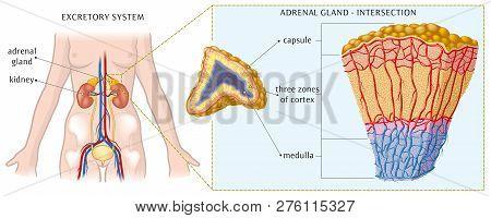 Vector Illustration Of Adrenal Gland Basic Anatomy.