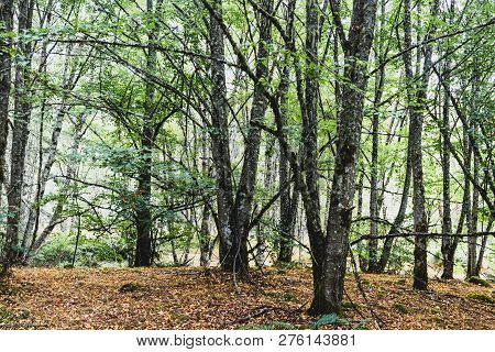 Autumn Woodland Forest With Light Showing Through The Trees