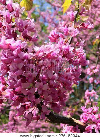 Beautiful Pink Sakura Spring Blooming Close Up