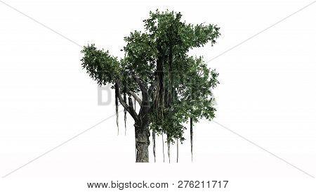 Chinese Banyan Tree - Image & Photo (Free Trial)   Bigstock