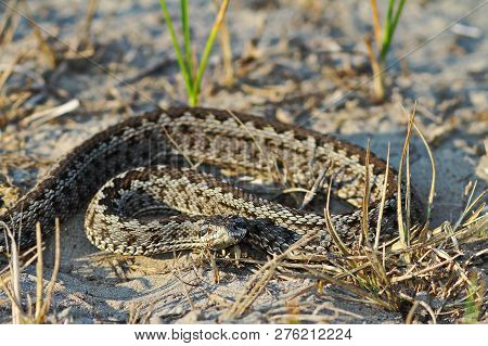 Moldavian Meadow Viper In Natural Environment ( Vipera Ursinii Moldavica ); This Is One Of The Rares