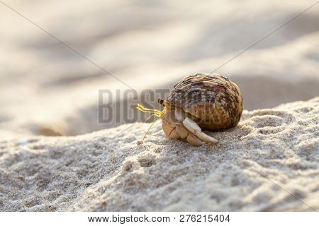 Hermit Crab Get Out From Shell To Explores The Environment In Local Seychelle Beach