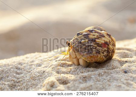 Small Hermit Crab In The Sand Of The Island Koh Mook, Thailand,hermit Crab Get Out From Shell To Exp