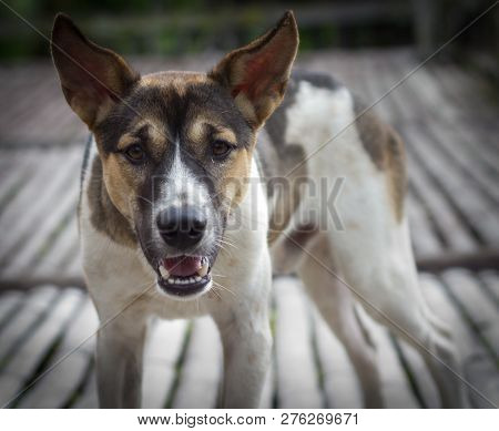 Barking Enraged Shepherd Dog Outdoors. The Dog Looks Aggressive, Dangerous And May Be Infected By Ra
