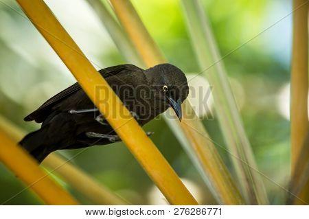 Carib Grackle Sitting On Palm Tree In Garden,  Trinidad And Tobago, Black Bird Perching On Branch, C