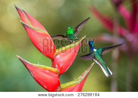 Hummingbird (copper-rumped Hummingbird And White-necked Jacobin) Fighting On Red Flower. , Green Bac