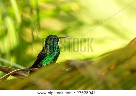 Copper-rumped Hummingbird Sitting On Branch In Garden, Palm Leaves In Background, Bird From Caribean